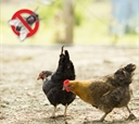 Fly Control For Backyard Chickens